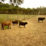 Les moutons, la chèvre et le jardin de nos amis…